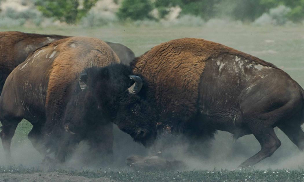 In the foreground of the picture, two bison (or water buffalo) are locking horns in a fight. One bison is on the left of the picture, facing the center. The other bison is on the right of the picture, facing the center. There is the body of another bison